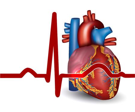 Aufbau des Herzens - Thomas Schnura erklärt