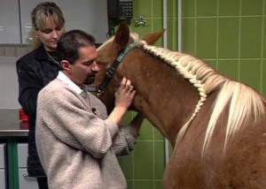 Druse beim Pferd