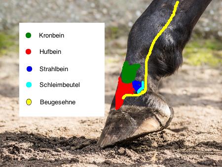 Tiermedizin: Der Huf beim Pferd - Die Struktur