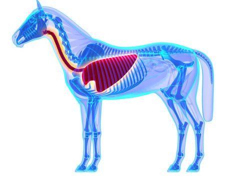 Lungenlappen bei Hund, Katze und Pferd