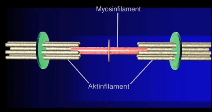 Aktin- und Myosinfilamente