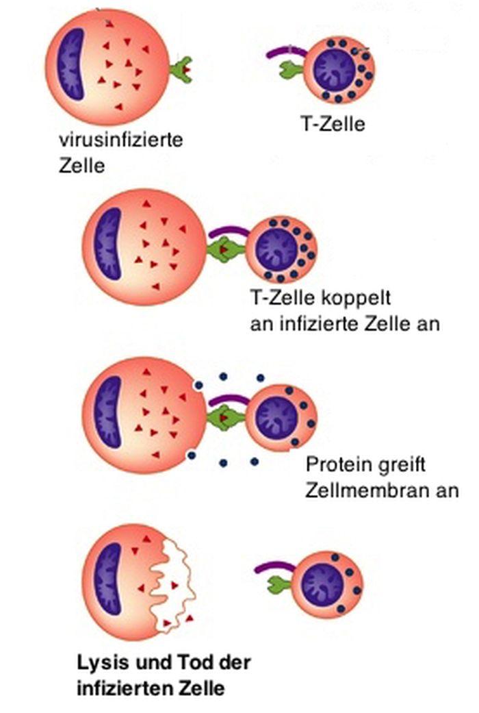 Komplementsystem Lyse