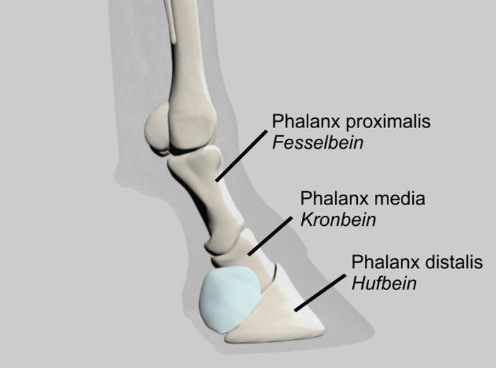 Knochenstrukturen beim Pferd