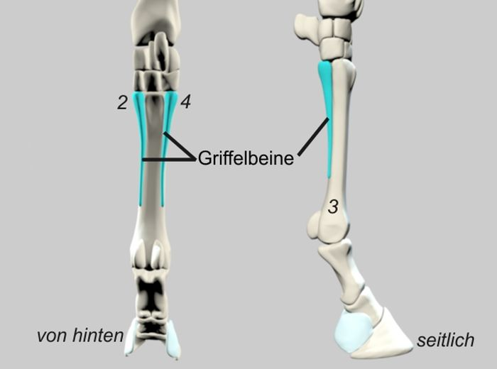Knochenstrukturen Pferd