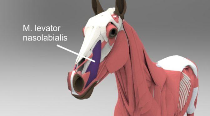 Die wichtigsten Muskeln des Pferdes