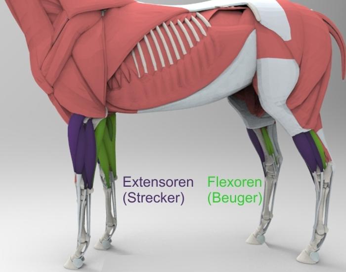 Muskeln des Pferdes
