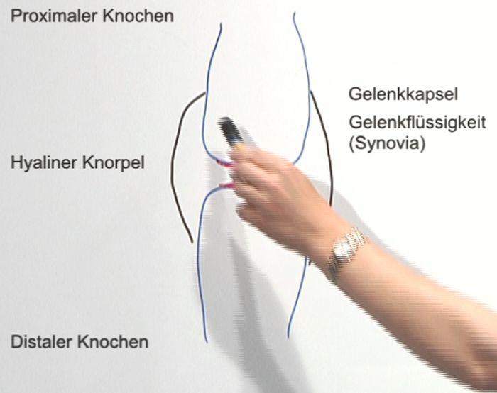 Verbindungen zwischen Knochen