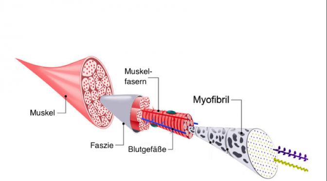 Die 3 Hilfseinrichtungen der Muskeln erklärt