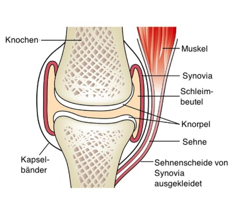 Die 3 Hilfseinrichtungen der Muskeln erklärt von Dr. med. vet. Gabi ...